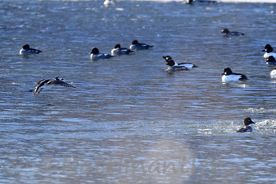 Long-Tailed Duck - ♀