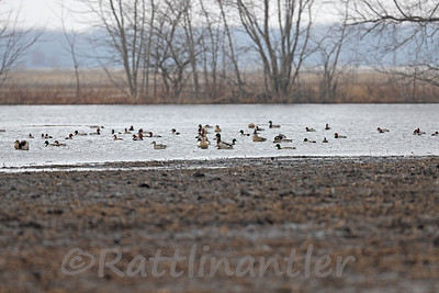 Waterfowl - Redheads, Pintails, Mallards