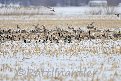 Canada Geese and Mallards
