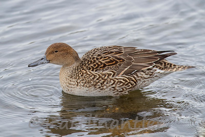 Northern Pintail ♀