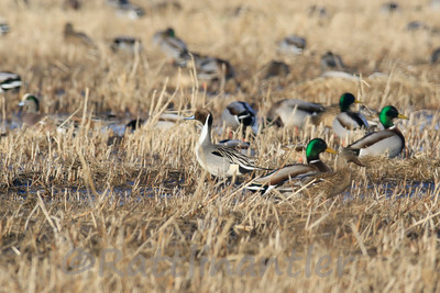 Northern Pintail with Mallards & Widgeons
