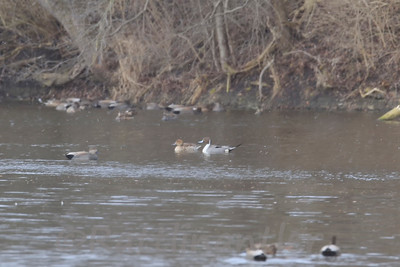 Northern Pintails with Gadwall