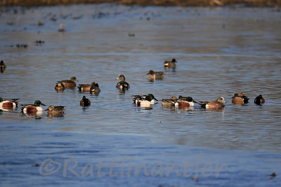 Northern Shovelers, Green-Winged Teal, Blue-Winged Teal, American Widgeons, Gadwalls