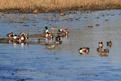 Northern Shovelers, Green-Winged Teal, Blue-Winged Teal