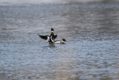Red-Breasted Mergansers ♂