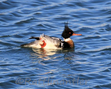 Red-Breasted Merganser ♂