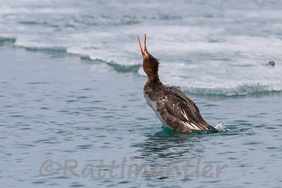 Red-Breasted Merganser ♀