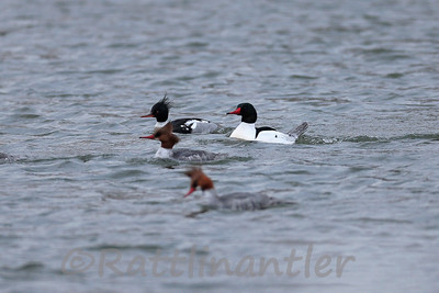 Red-Breasted Merganser and Common Mergansers