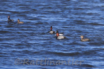 Redheads and Lesser Scaup