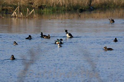 Mixture of Ducks  *  Buffleheads, Ring-Necked Ducks, Hooded Merganser, Shovelers
