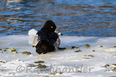 Ring-Necked Duck ♂