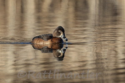 Ring-Necked Duck ♀