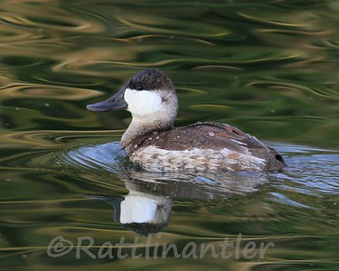 Ruddy Duck ♂