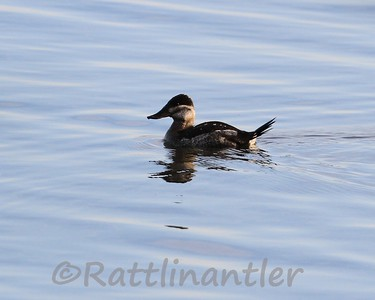 Ruddy Duck ♀