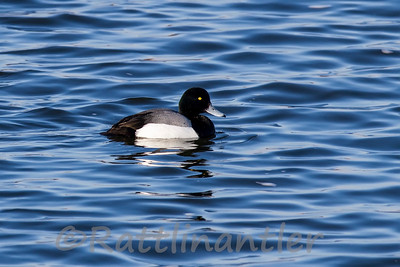 Greater Scaup ♂
