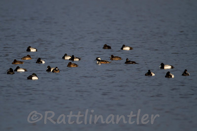 Hooded Merganser ♂ with Scaups