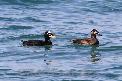 Surf Scoter Pair