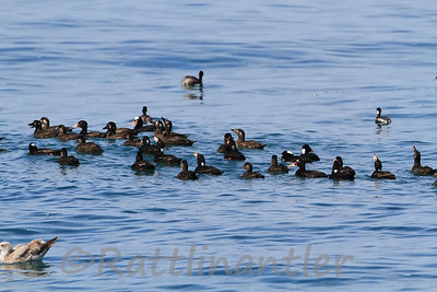 Surf Scoters