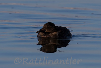 White-Winged Scoter ♀