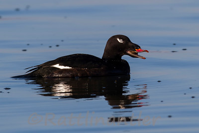 White-Winged Scoter ♂