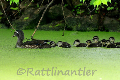 Wood Duck Hen with 12 Ducklings