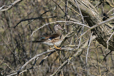Wood Duck ♀
