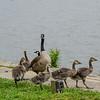 Canadien Geese