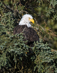 Bald Eagle, Brooks Falls, Katmai National Park, AK