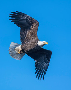 Bald Eagle, Grand lake, OK