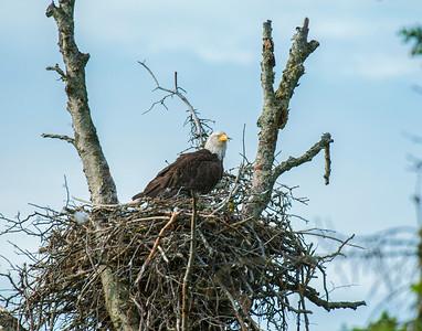 Bal;d Eagle, Homer, AK