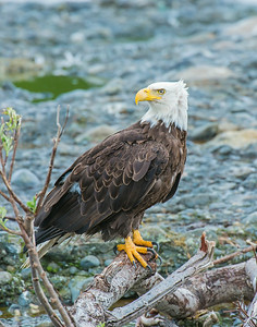 Bald Eagle, McNeil River State Game Sanctuary, AK