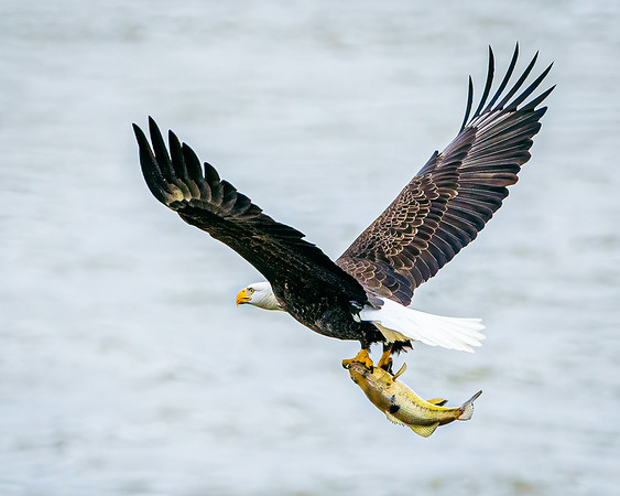 Bald eagle fishing in Maryland