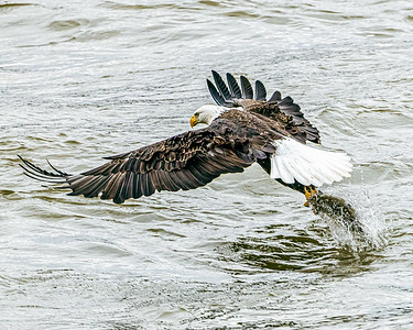 Bald eagle catching a meal