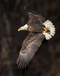 Bald Eagle, Grand lake, OK