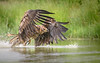 White Tailed Eagle (Juvenile)