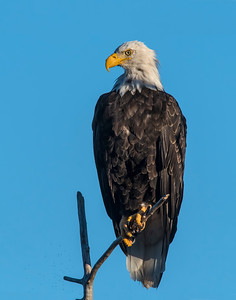 Bald Eagle, Brooks Falls, Katmai National Park, AK