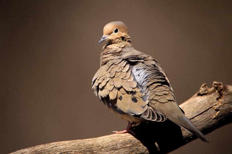 Mourning Dove 4422