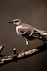 Northern Mockingbird 4409