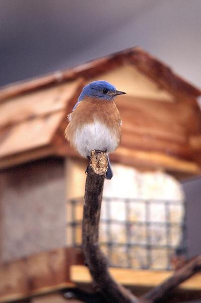 Eastern Blue Bird m 4464