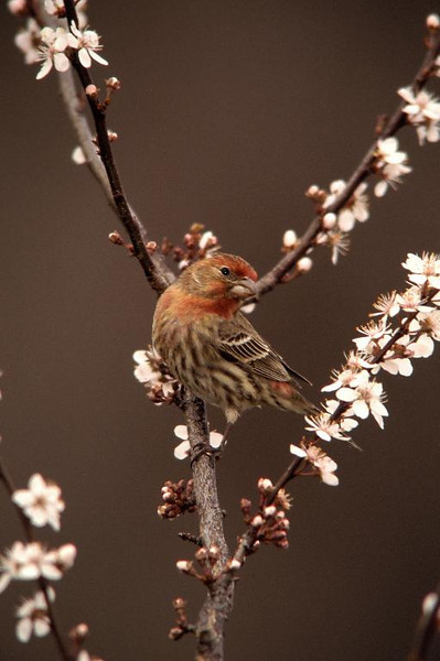 Song Sparrow f 4454
