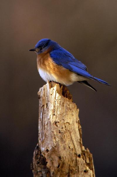 Eastern Blue Bird m 4411