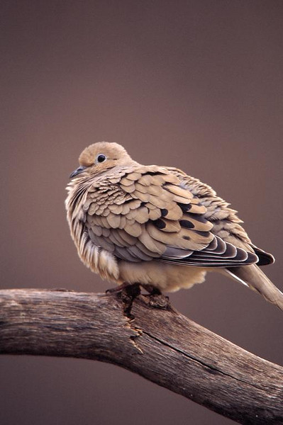 Mourning Dove 4453