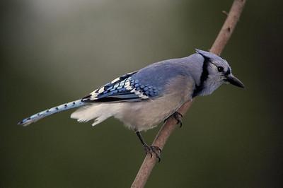 Eastern Songbirds