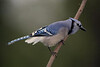 Blue Jay m 4407