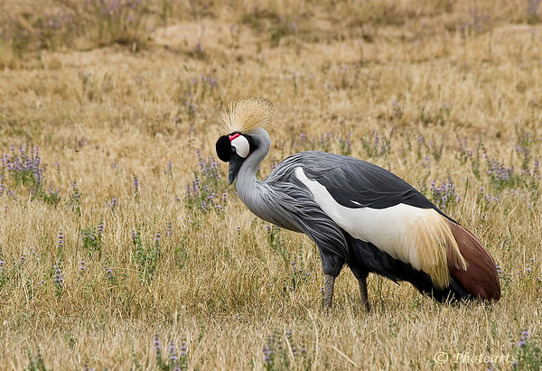 """Crowned Crane"""