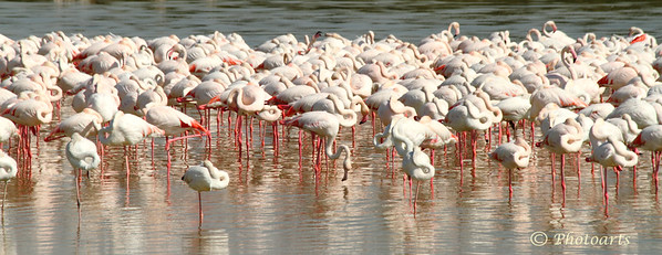 """Flamingo Flock"""