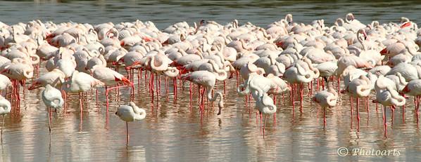 """Flamingo Flock"""