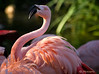 """Chilean Flamingo"" #94120888  © Payam Nashery - Photoarts"