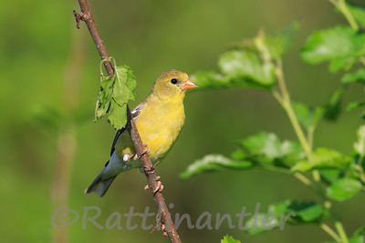 American Goldfinch ♀