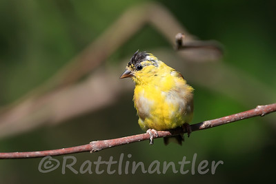 American Goldfinch Transitioning to Winter Plumage